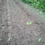 Silphie frisch angepflanzt (eigenes Bild)